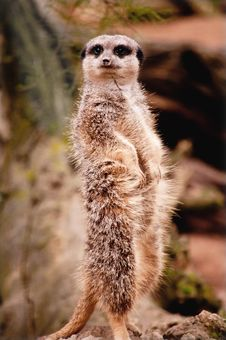 Free Meerkat On Guard Stock Images - 27834044