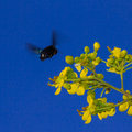 Free Carpenter Bee Royalty Free Stock Images - 27851309
