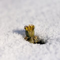 Free Dandelion Flower In The Snow Royalty Free Stock Image - 27855636