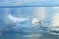 Free Couple Of Great White Heron Birds Stock Images - 27856784