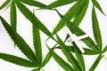Free Canabis Leaf Stock Photo - 27858020