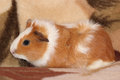Free Guinea Pig Stock Photo - 27858520