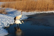Free Red-crowned Crane Walking In The Lake Royalty Free Stock Image - 27850286
