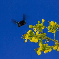 Carpenter Bee Royalty Free Stock Images