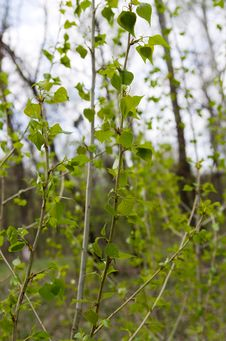 Free Young Sprigs Of Poplar Stock Photo - 27856260