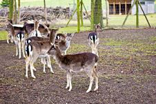 Group Of Many Roe Deer Stock Images