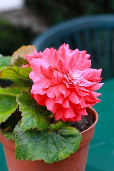 Free Red Begonia Close Up Royalty Free Stock Photography - 27858177