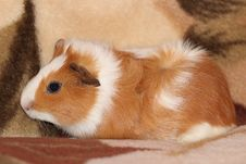 Free Guinea Pig Stock Photo - 27858520