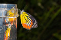 Free Painted Jezebel Butterfly Stock Images - 27869454