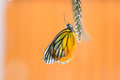Free Painted Jezebel Butterfly Stock Photography - 27869482
