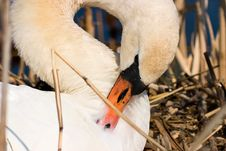 Free Mute Swan Royalty Free Stock Photography - 27860717