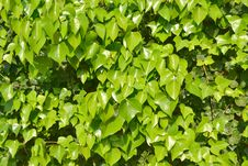 Free Green Leaf Green Branch Royalty Free Stock Photos - 27867638