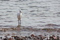 Free Egret Catch Fish In The Sea Royalty Free Stock Photography - 27870597