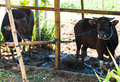 Free Cows In Stall Stock Photo - 27875990