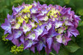 Free Hydrangea Flower Closeup Royalty Free Stock Photo - 27876945