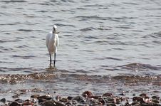 Egret Catch Fish In The Sea Royalty Free Stock Photography