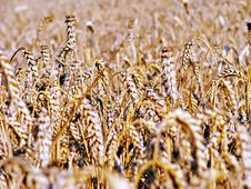 Free Wheat Royalty Free Stock Photography - 27871427