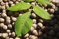 Free Walnuts Royalty Free Stock Photography - 27871897