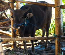 Free Cow In Bamboo Stall Royalty Free Stock Photo - 27875975