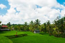 Rice Field And Coconut Palms