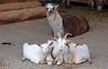 Free Goats And Lama Stock Photos - 27883463