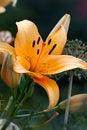 Free Orange Lily Royalty Free Stock Image - 27887666