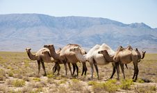 Free The Herd Of Camels Has A Rest In Mountains Royalty Free Stock Photo - 27882655