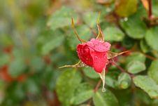 Free Closeup Of Red Rose Royalty Free Stock Image - 27882926