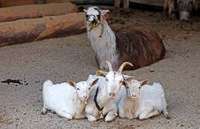 Goats And Lama Stock Photos