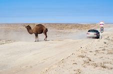 Free Camel On Road Stock Image - 27883791