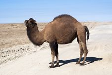 Free Camel On Road Stock Photo - 27883800