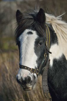 Free Tethered Horse Portrait Royalty Free Stock Photography - 27884497