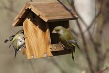 Free Two Green-finch On Bird Feeder Stock Photos - 27887493