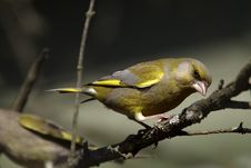 Free Green-finch Portrait Royalty Free Stock Image - 27887506