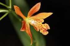Free Exotic Color Orchid Flower Royalty Free Stock Images - 27887649