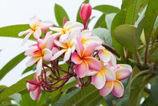 Frangipani Flowers Stock Images