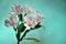 Free White Alstroemeria Stock Image - 27882871