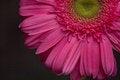Free Pink Gerbera Daisy Royalty Free Stock Photos - 27899438