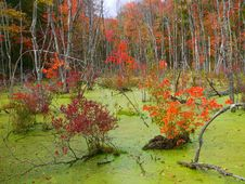 Free Swamp Maples Royalty Free Stock Images - 27897019