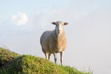 Free Lamb Royalty Free Stock Photos - 27899368