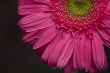 Pink Gerbera Daisy Royalty Free Stock Photos