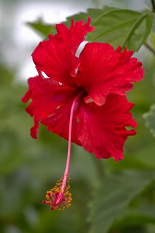 Free Red Hibiscus Stock Photos - 27899453