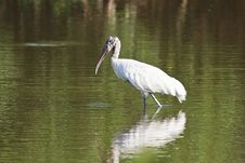 Free Wood Stork In A Pond Stock Photo - 27899530