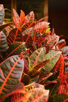 Croton Leaves Royalty Free Stock Photos