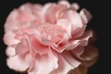 Free Pink Carnation Royalty Free Stock Photography - 27899667