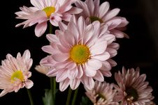 Free Pink Daisies Royalty Free Stock Photography - 27899787