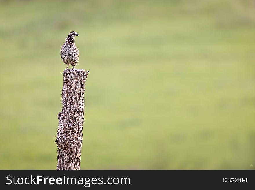 Pheasant on hedge post