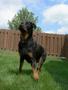 Free Ready For Action - Rottweiler Royalty Free Stock Image - 2791066