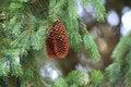 Free Spring Pine Cones Royalty Free Stock Photos - 2794828