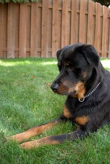 Free Ready Rottweiler Stock Images - 2791034